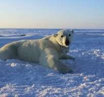 Oso polar sobre el hielo marino del Mar de Beaufort. Foto: AP.