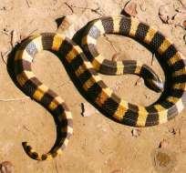 La serpiente fue hallada en el domicilio de la víctima. Foto: Referencial/montevideo.com.uy