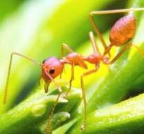 Las hormigas coloradas pueden servir de inspiración a la robótica. Foto: GETTY/VNARONG