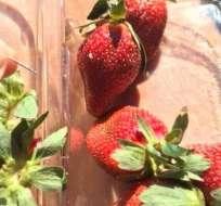 En Australia, se encontraron algunas fresas con agujas escondidas dentro.