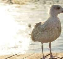 Al menos 180 especies de animales marinos han sido observadas consumiendo plástico.