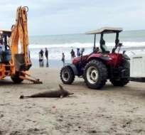 Delfín fue hallado muerto en playas de Esmeraldas. Foto: Twitter MAE Esmeraldas