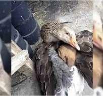 Pato protege del frío a un cachorro abrigándolo debajo de su ala.