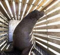 Los sacrificios se realizan para proteger especies de trucha y salmón en peligro de extinción. Foto: AP
