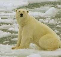 Los osos polares se ven obligados a buscar tierra firme donde conseguir alimentos, a medida que disminuye el hielo marino.