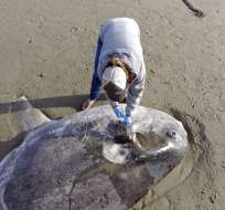SANTA BÁRBARA, California.- Se creía que esta inusual especie vivía en el hemisferio sur. Fotos: AP.