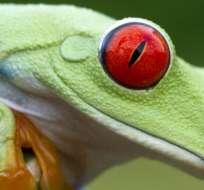 Al menos 90 especies de anfibios se han extinguido a causa de la infección.