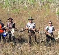 La pitón birmana ha sido considerada una especie invasora. Foto: AFP