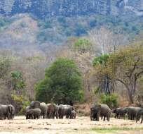 La última vez que mataron ilegalmente a un elefante en Niassa fue el 17 de mayo de 2018. Foto: AP