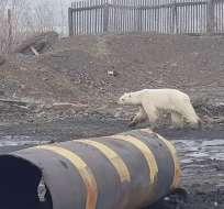 Las imágenes del animal, visiblemente agotado, circularon por las redes sociales rusas. Foto: AFP