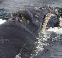Graban canto de rara ballena franca por primera vez. Foto: AP