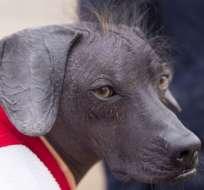 Perros sin pelo como Sumac fueron alguna vez parte clave de la cultura precolombina de Perú.
