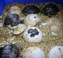 El periodo de anidación inició en julio con la recolección de los primeros huevos. Foto: Parque Nacional Galápagos