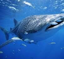 En Galápagos se vigila por satélite a los tiburones ballena