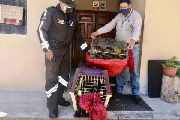 Un detenido al intentar vender 53 pericos caretirrojos en El Oro