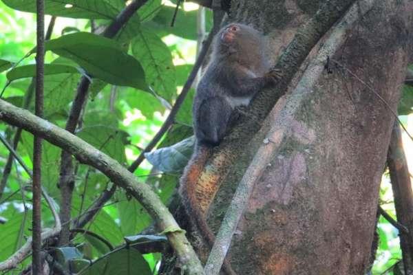 Descubren nueva especie del primate más pequeño del mundo