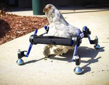 Niña defiende a su gallina en silla de ruedas. Foto: AP