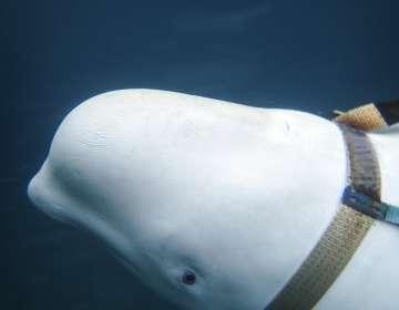 Encuentran a ballena en costa noruega con un arnés. Foto: AP