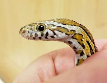 Serpiente mascota sobrevive tras ciclo en lavadora de ropa. Foto: AP