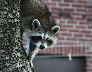 Los animalitos afectados por el virus suelen alzarse en sus patas y mostrar los dientes. Foto: Pixabay