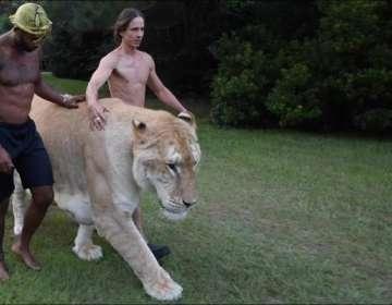 Conoce al felino más grande del mundo.
