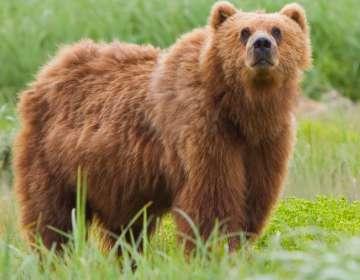 Sobrevivió un mes atrapado en la guarida de un oso en Rusia. Foto: Referencial