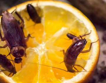 Estos pequeños insectos prefieren vivir en las ciudades donde encuentran todo lo que necesitan para propagarse.