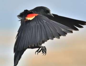 Los mirlos de alas rojas no tienen miedo de atacar a las personas que salen a hacer deporte en la calle.