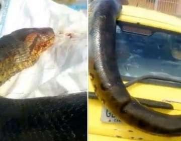 Anaconda gigante se exhibió como trofeo en las calles.