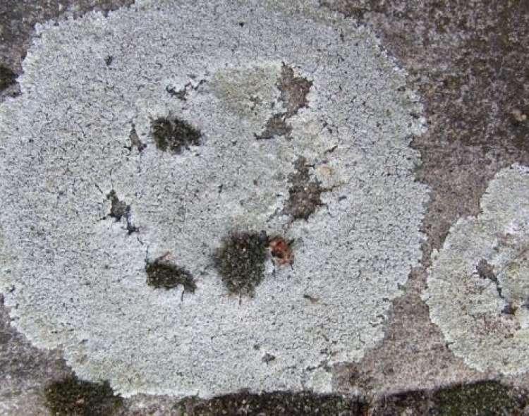 El liquen es una especie común en Australia y Nueva Zelanda. GETTY IMAGES